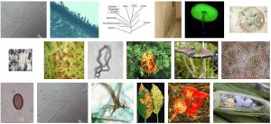 Fungal Mold Rusts_Basidiomycetes
